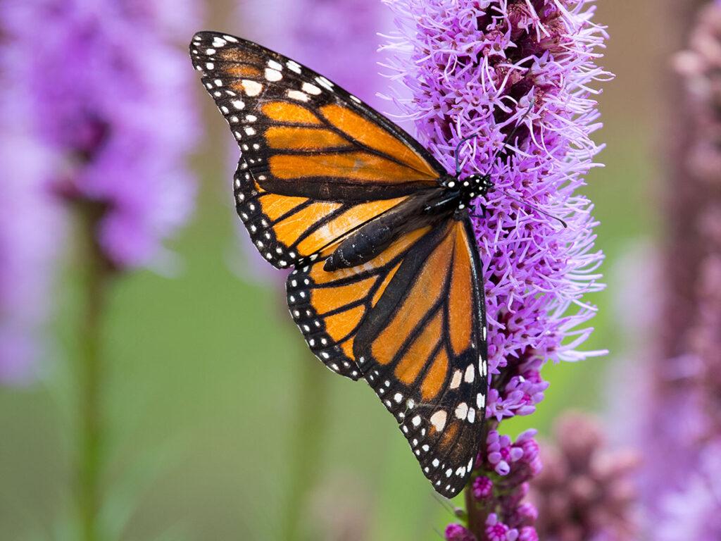20200804-Butterfly--027-1200x800-A