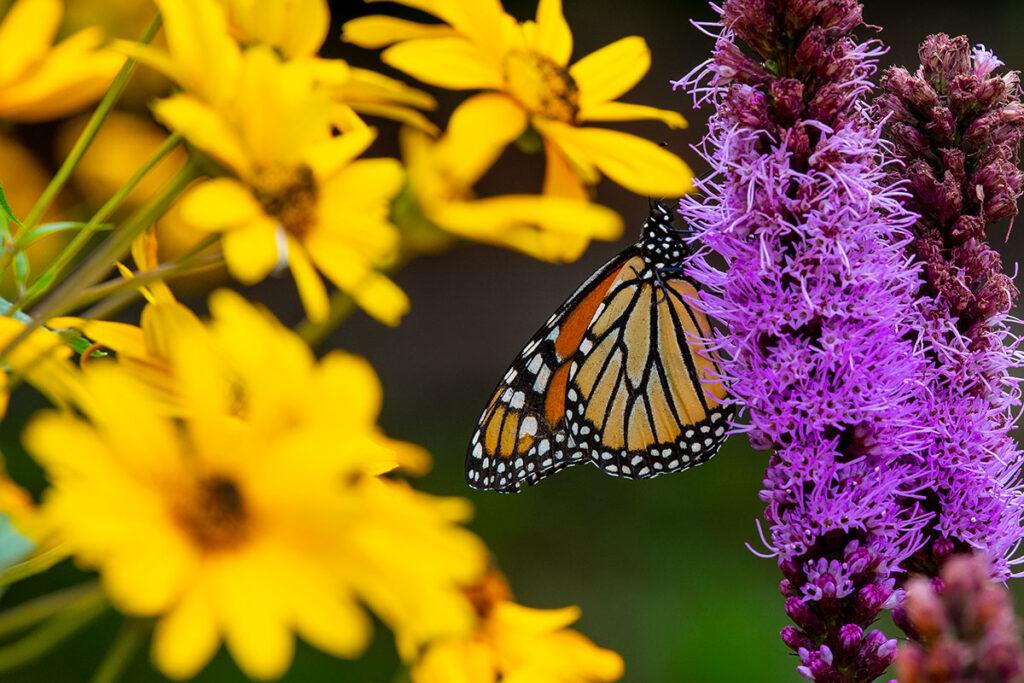 20200804-Butterfly--197-1200x800